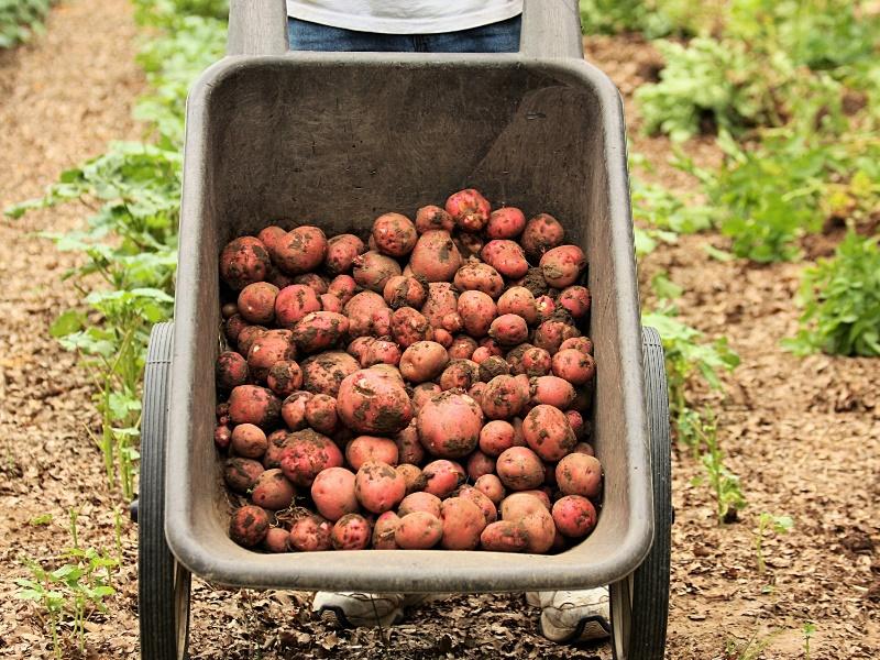 12.000 kilo aardappels | zakjes van 2 kilo